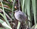 Gray Catbird by Marilynne in Wildlife