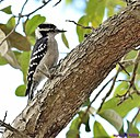 Downy Woodpecker by Marilynne