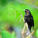 Immature Red Winged Blackbird by Marilynne in Wildlife