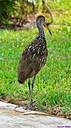 Limpkin by Marilynne in Wildlife