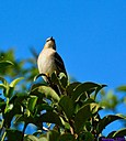 Mockingbird by Marilynne in Wildlife