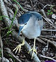 Black Crowned Night Heron by Marilynne