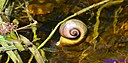 Florida Apple Snail by Marilynne in Critters