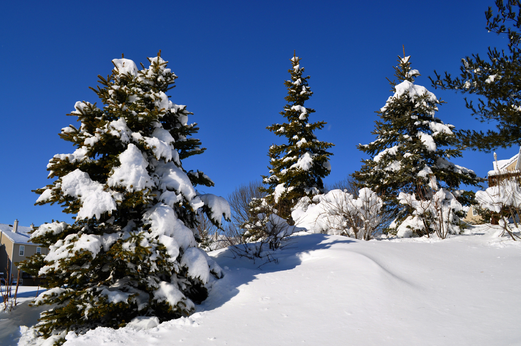 snow and pine trees