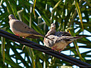 doves2 by wev