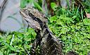 Eastern Water Dragon by dramtastic in Member Albums