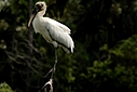 Wood stork 2 by Jim Maguire in Member Albums