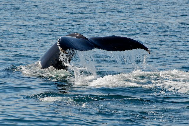 Whale Sounding off Cape Cod by Joseph Bautsch in Member Albums