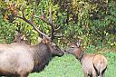 Smokey Mountain Elk (3) by Joseph Bautsch in Member Albums